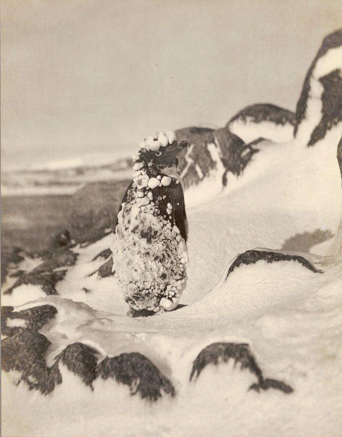 Замерзший пингвин Адели Дуглас Моусон, австралия, антарктида, изучение Антарктики, научная экспедиция, полярные исследователи, поход во льдах, фотосвидетельства