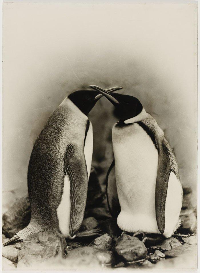 Королевские пингвины в Антарктике Дуглас Моусон, австралия, антарктида, изучение Антарктики, научная экспедиция, полярные исследователи, поход во льдах, фотосвидетельства