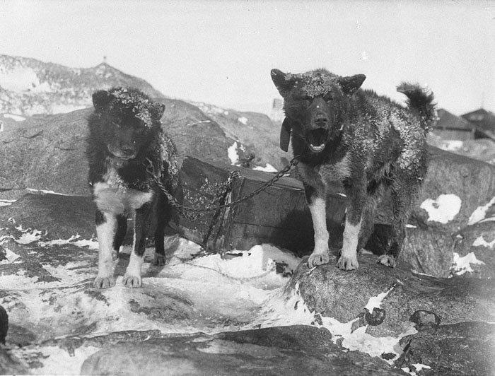 Василиск и Джинджер на главной базе Дуглас Моусон, австралия, антарктида, изучение Антарктики, научная экспедиция, полярные исследователи, поход во льдах, фотосвидетельства