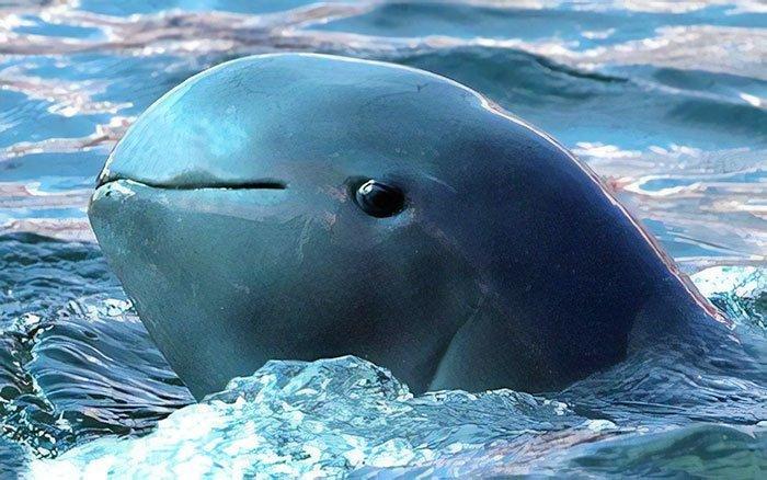 Иравадийский дельфин животные, необыкновенные создания, необычно, познавательно, странно, странные виды, удивительно, чудеса природы