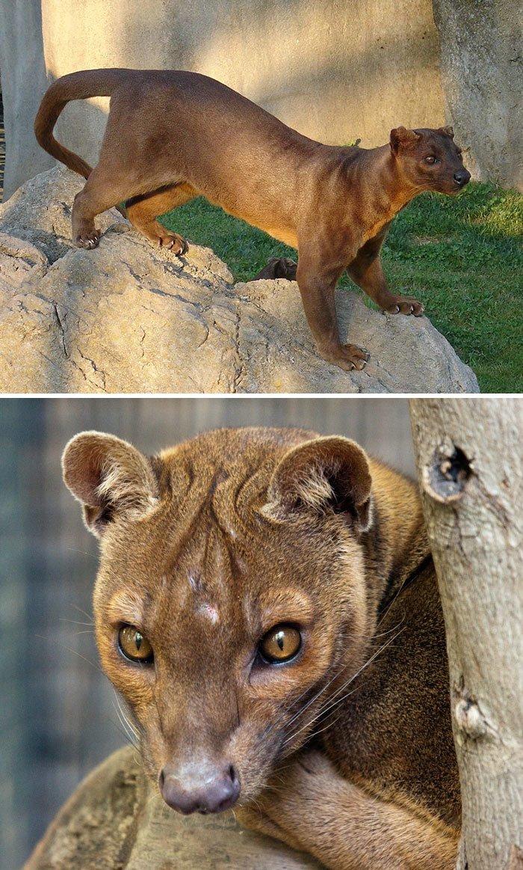 Фосса животные, необыкновенные создания, необычно, познавательно, странно, странные виды, удивительно, чудеса природы