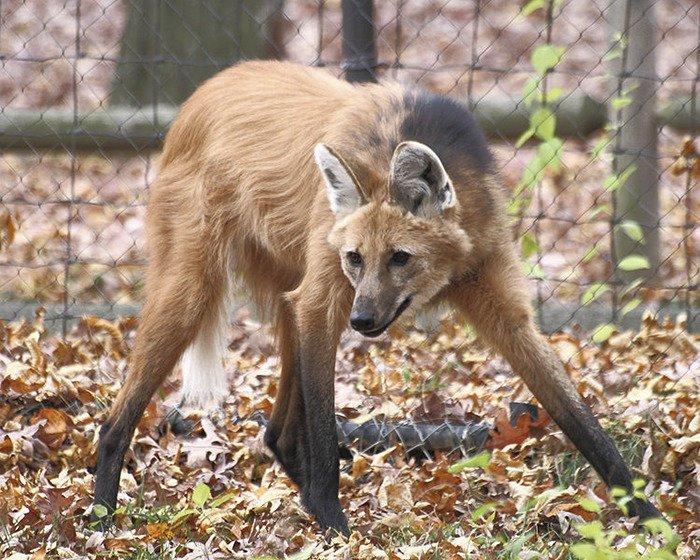 Гривистый волк животные, необыкновенные создания, необычно, познавательно, странно, странные виды, удивительно, чудеса природы