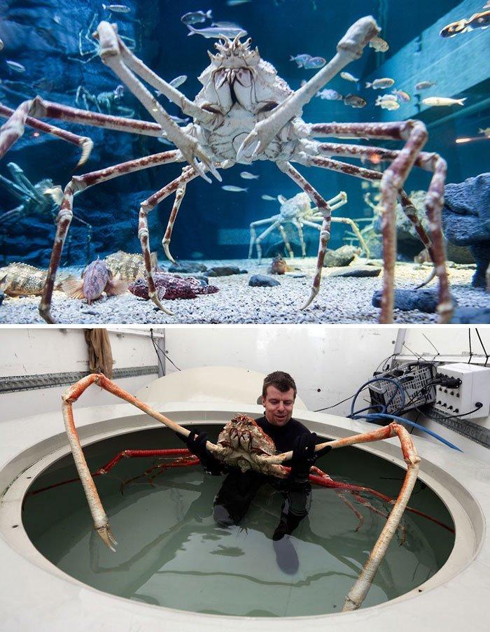 Японский краб-паук животные, необыкновенные создания, необычно, познавательно, странно, странные виды, удивительно, чудеса природы