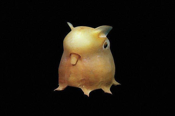 Осьминог Дамбо животные, необыкновенные создания, необычно, познавательно, странно, странные виды, удивительно, чудеса природы