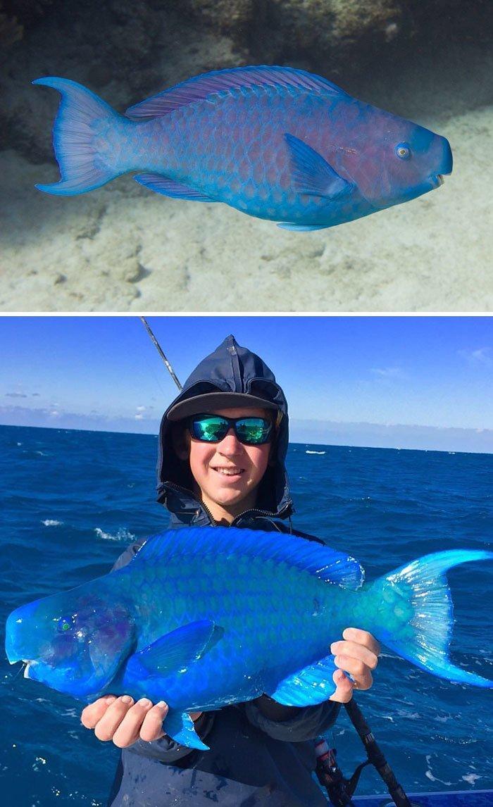 Синяя рыба-попугай животные, необыкновенные создания, необычно, познавательно, странно, странные виды, удивительно, чудеса природы