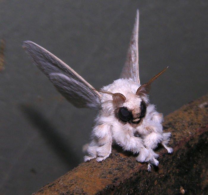 Венесуэльский мотылек-пудель животные, необыкновенные создания, необычно, познавательно, странно, странные виды, удивительно, чудеса природы