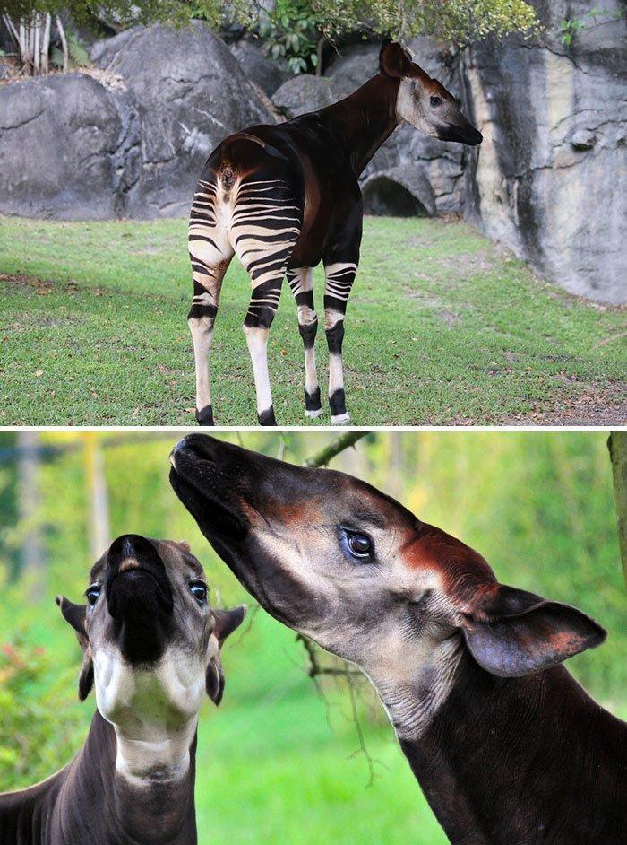 Окапи животные, необыкновенные создания, необычно, познавательно, странно, странные виды, удивительно, чудеса природы