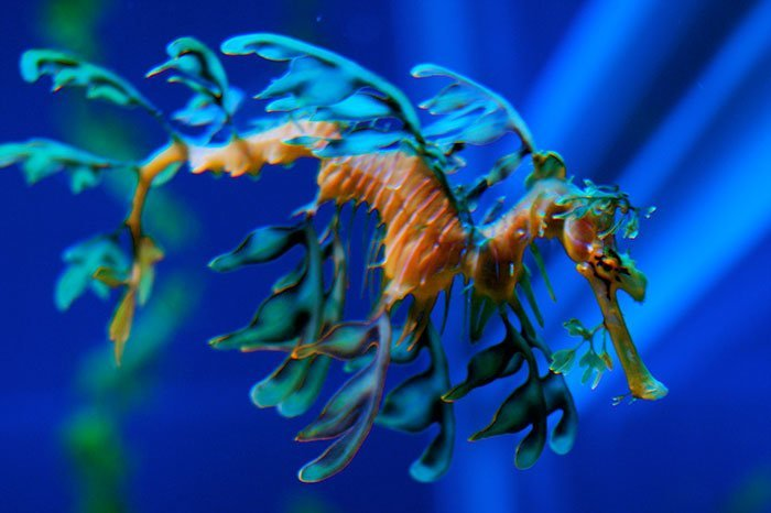Лиственный морской дракон животные, необыкновенные создания, необычно, познавательно, странно, странные виды, удивительно, чудеса природы