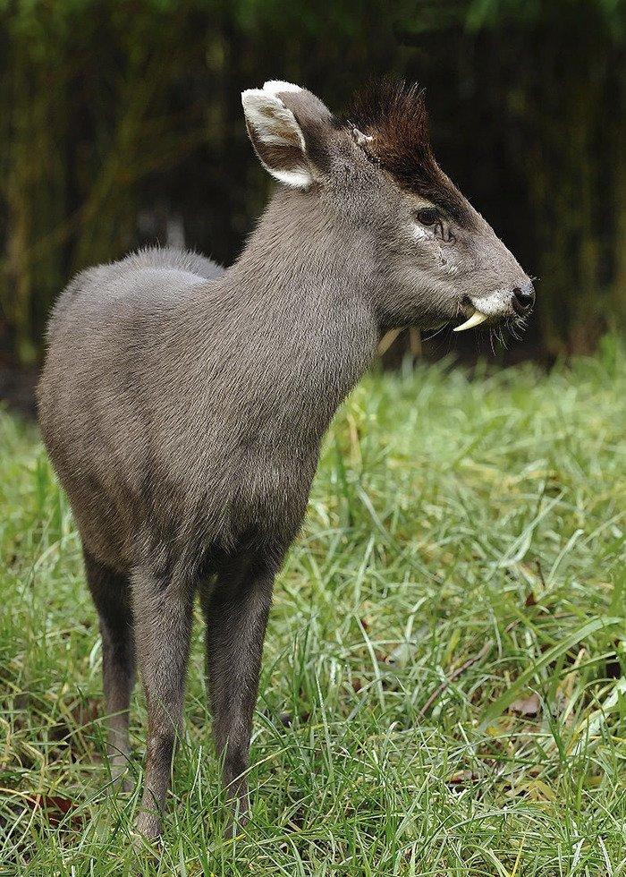 Хохлатый олень животные, необыкновенные создания, необычно, познавательно, странно, странные виды, удивительно, чудеса природы