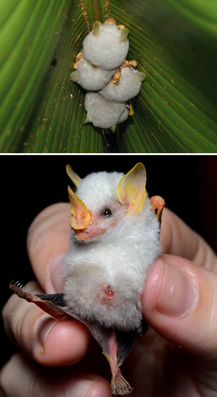 Гондурасский белый листонос животные, необыкновенные создания, необычно, познавательно, странно, странные виды, удивительно, чудеса природы