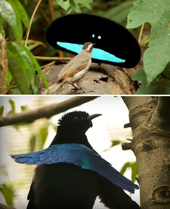 Чудная райская птица животные, необыкновенные создания, необычно, познавательно, странно, странные виды, удивительно, чудеса природы
