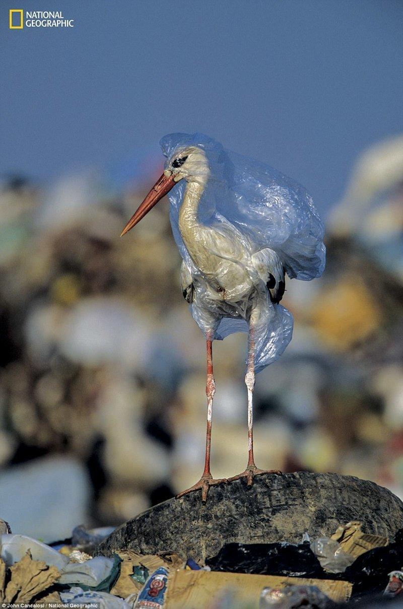 Аист в полиэтиленовом пакете на мусорном полигоне, Испания national geograhic, загрязнение моря, морские жители, охрана природы, пластик опасен, последствия, эко-система, экология