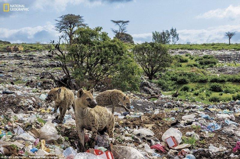 Некоторым животным приходится жить в мире пластикового мусора - как, например, этим гиенам в Хараре (Эфиопия) national geograhic, загрязнение моря, морские жители, охрана природы, пластик опасен, последствия, эко-система, экология