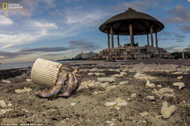 Рак-отшельник, выбравший своим домом пластиковую крышку от бутылки, Окинава, Япония national geograhic, загрязнение моря, морские жители, охрана природы, пластик опасен, последствия, эко-система, экология