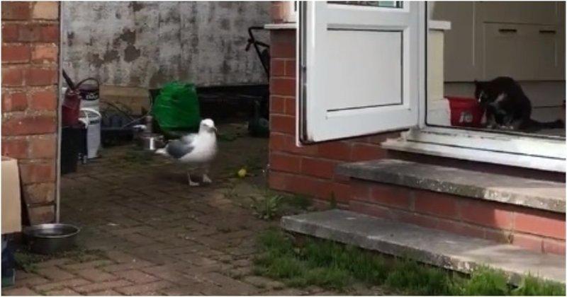 Наглая чайка съела еду двух домашних кошек видео, воровство, еда, животные, прикол, чайка, юмор