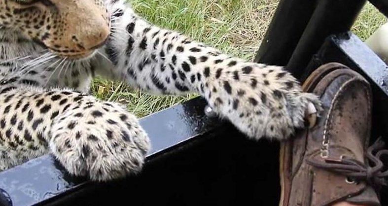 Турист, посетивший заповедник в Ботсване, разрешил леопарду попробовать на зуб свою обувь ботсвана, животные, леопард, обувь, турист