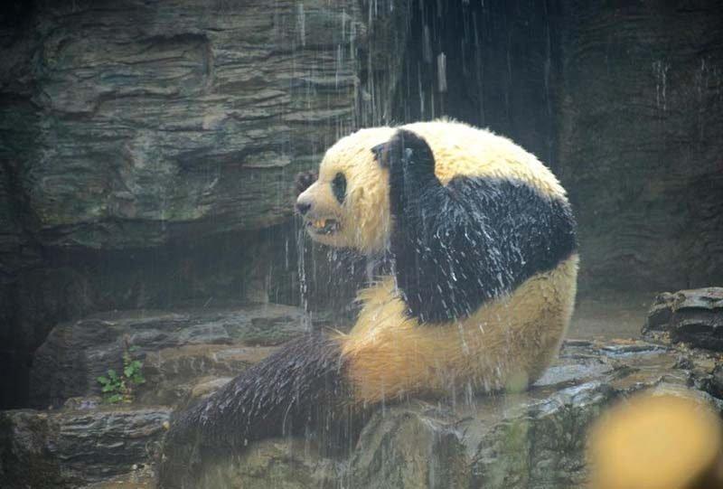 Душ для больших панд в жаркий пекинский день в мире, дождь, животные, зоопарк, милота, панда