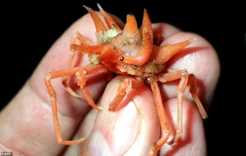 У нового вида краба-паука глаза прикрыты специальными пластинами, напоминающими большие уши. ynews, интересно, исследования, морские животные, морские существа, новости, фото, экспедиция