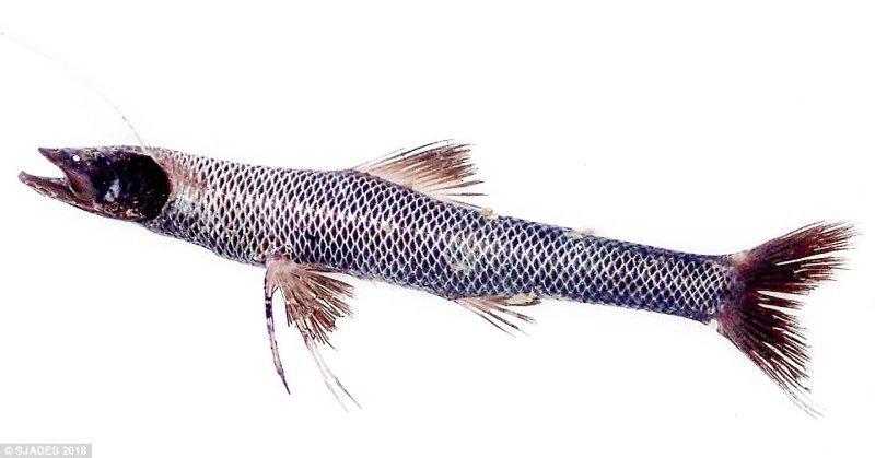 Рыба-тренога ynews, интересно, исследования, морские животные, морские существа, новости, фото, экспедиция