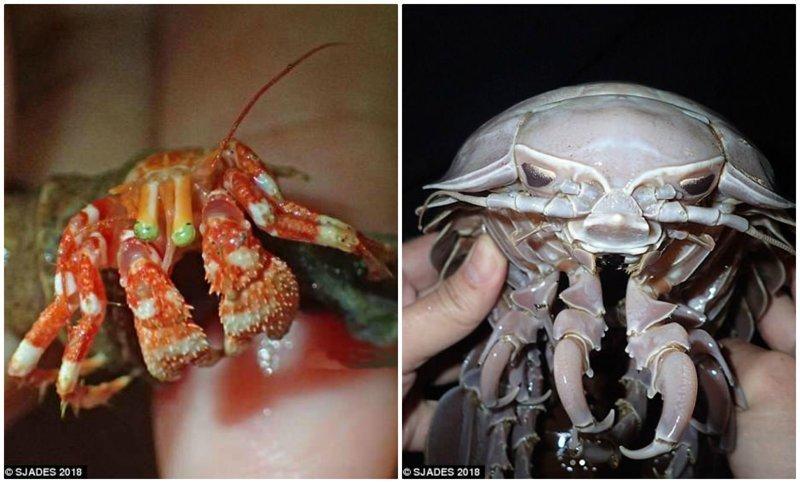 """Слева - новый вид рака-отшельника, отличающийся ярко-зелеными глазами. Справа - морской таракан """"Дарт Вейдер Изопод"""". ynews, интересно, исследования, морские животные, морские существа, новости, фото, экспедиция"""
