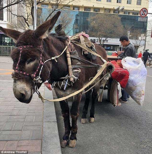 Хух-Хото находится всего в пяти часах езды от Пекина, но здесь совершенно другой уклад жизни и сохранилось множество древних традиций внутренняя монголия. китай, жилеты, китай, коготь тигра, кошачий, мех, незаконно