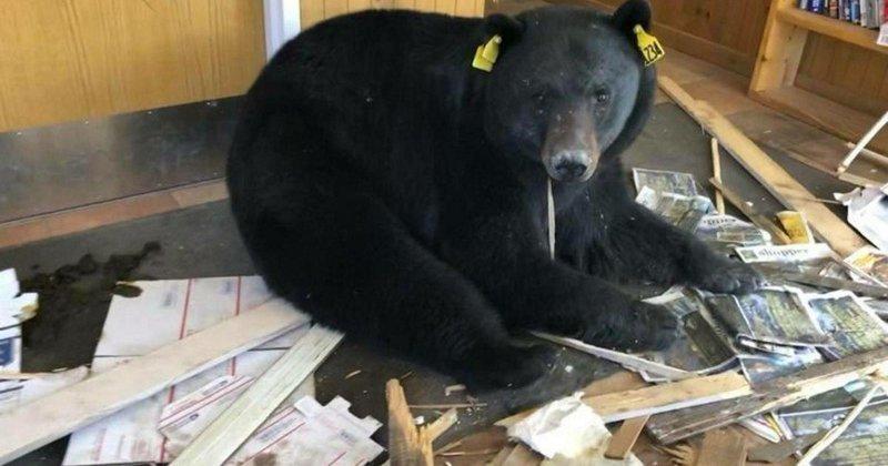 Косолапый налётчик - рецидивист пробрался в почтовое отделение в США в мире, животные, медведь, почта, природа