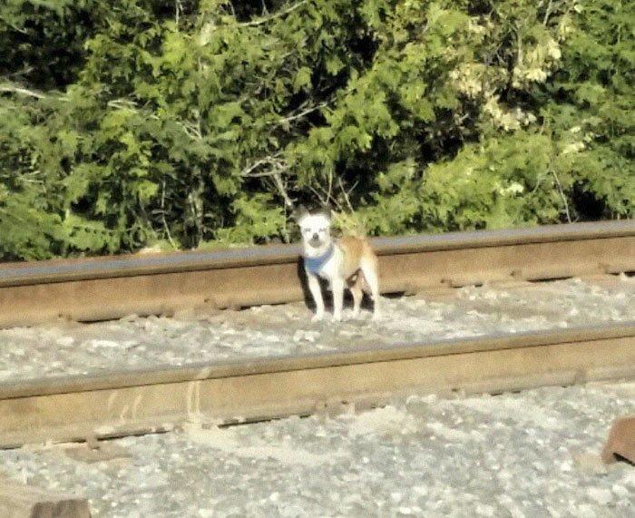 """""""Маленький пес бегал по путям неподалеку от главной дороги. Ох, как же мне хотелось домой после 11-часового рабочего дня. Пес определенно был в смятении"""" животные, история, помощь, собака, спасение, фото, чихуахуа"""