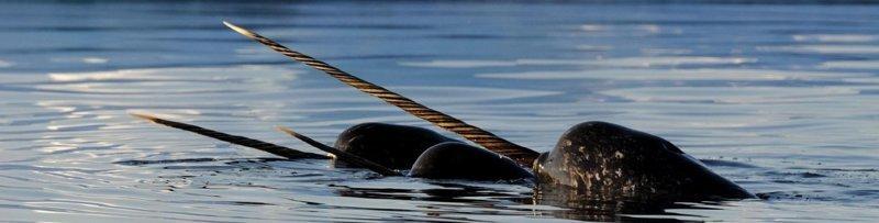 Зачем нарвалу рог? #Нарвал, #дельфины, #млекопитающие, #океан, #рыба, арктика