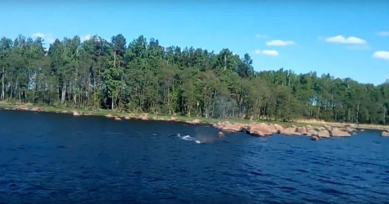 В Выборгском заливе заметили горбатого кита видео, выборгский залив, горбатый кит, животные, кит, прикол