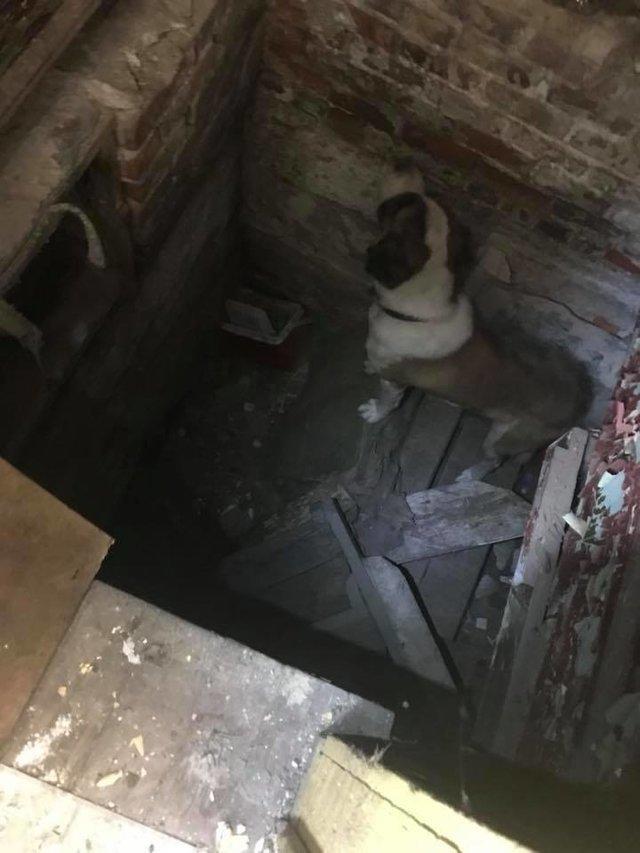 «В яме печально светились глаза…» Сенбернар питался щепками в разрушенном доме! история, собаки, спасение