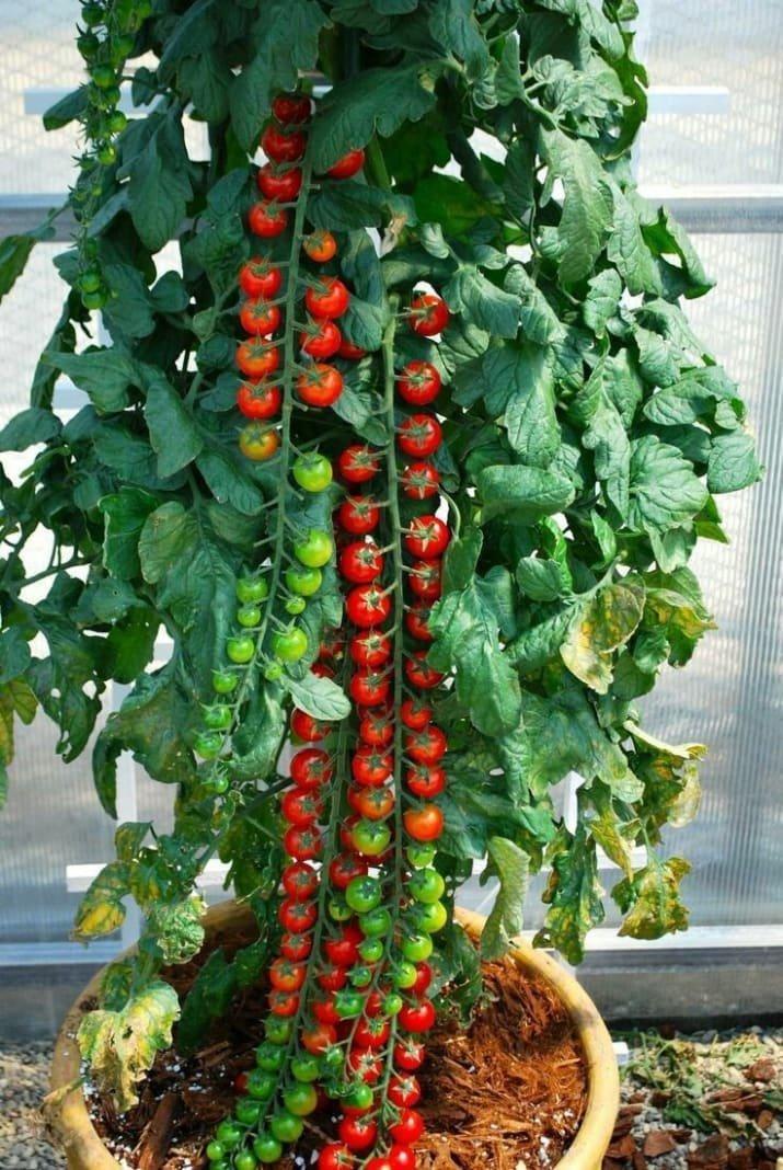 Эти помидоры - доказательство того, что природа не терпит хаоса аппетитно, блюда, вкусно, как снимать еду, продукты, слюнки текут, фото, фотографии еды