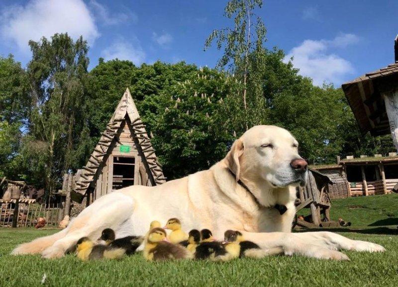 Старая собака стала папой для осиротевших утят животные, милота, собака, утята