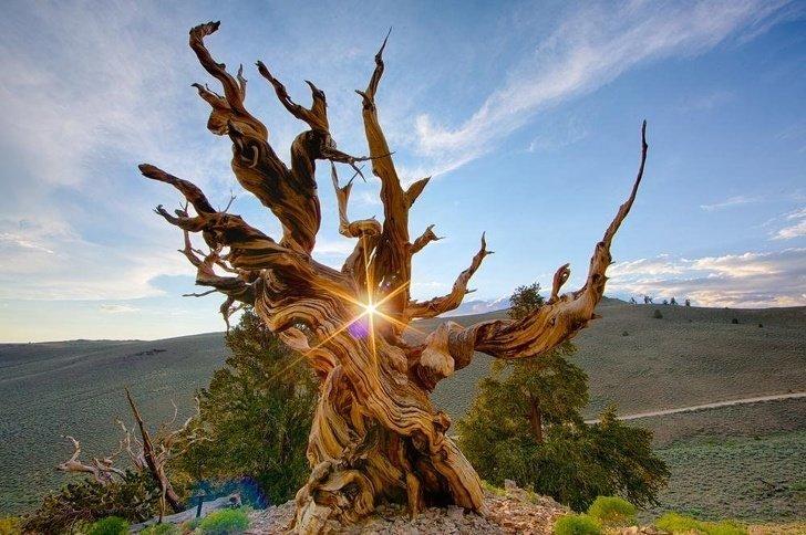 4. Потрясающее изображение самого старого дерева в мире (сосна остистая Мафусаил, возраст - около 5 тыс. лет)  -  в белых горах Национального заповедника Иньо (Калифорния, США) без фотошопа, вы не поверите, места, природа, реальность, удивительные, чудеса