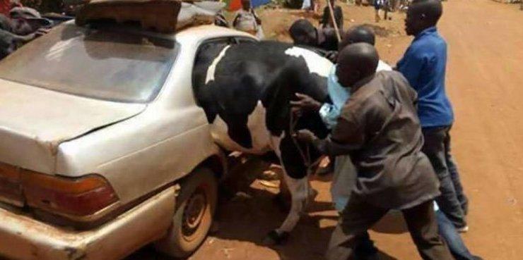 Корове не позавидуешь груз, грузоперевозки, грузопревозка, перевозка, перевозчик, прикол, юмор