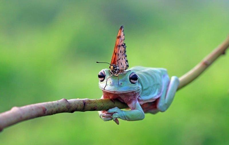 Лягушка снова улеглась на ветку, а бабочка просидела на ее голове минут 10 бабочка, индонезия, лягушка, поцелуй, природа, фотомир, ява