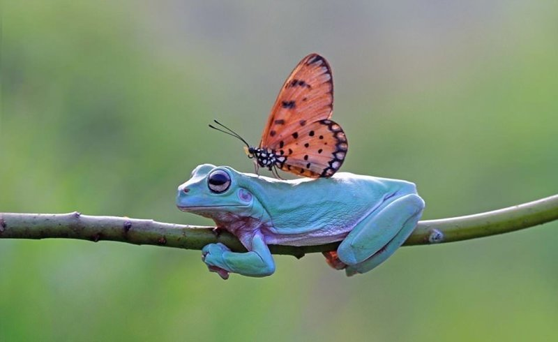 """""""Думаю, это история бабочки, которая хочет подружиться с лягушками"""", - полагает 39-летний индонезийский фотограф бабочка, индонезия, лягушка, поцелуй, природа, фотомир, ява"""