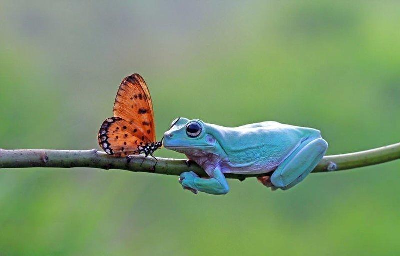 На мгновение фотографу показалось, что данаида монарх поцеловала коралловопалую литорию бабочка, индонезия, лягушка, поцелуй, природа, фотомир, ява