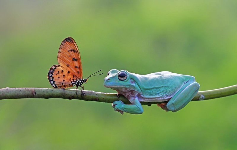 Бабочка медленно подбиралась к лягушке, наблюдавшей за ней бабочка, индонезия, лягушка, поцелуй, природа, фотомир, ява