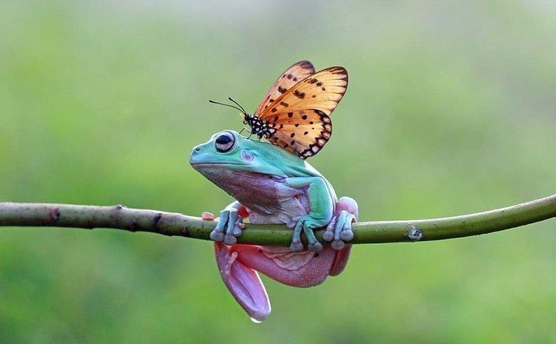 Земноводное немного смутилось, но не прогнало насекомое бабочка, индонезия, лягушка, поцелуй, природа, фотомир, ява