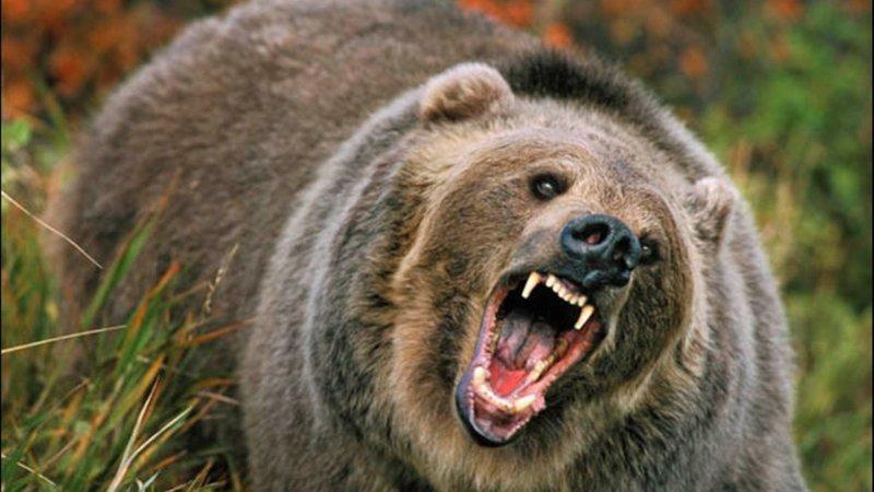 Американка прошла три километра с пробитой после нападения гризли головой  ynews, грызли, интересное, медведь, нападение, спасение, фото