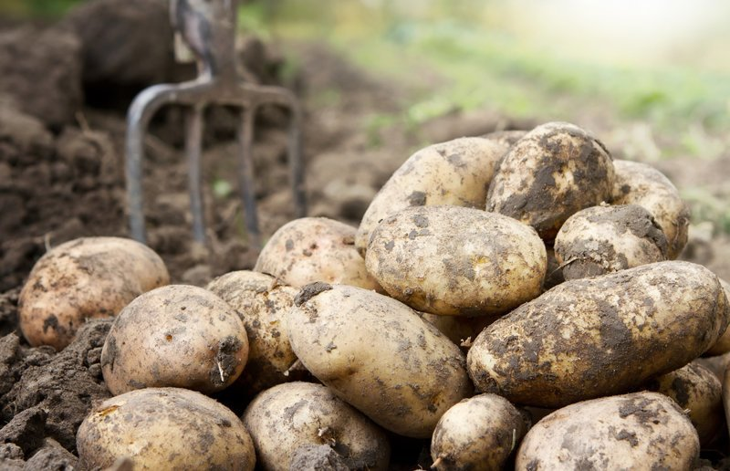 Картофель испорченные продукты, неожиданность, правила, продукты, холодильник, хранение