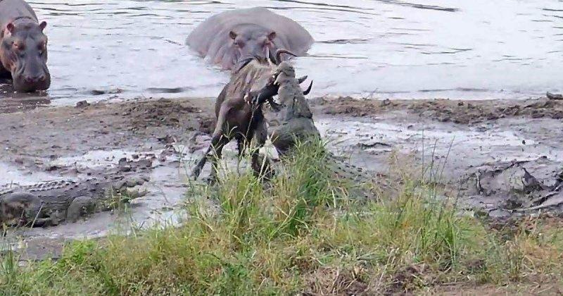 Бегемоты спасли антилопу гну от двух крокодилов бегемот, видео, гиппопотам, гну, дикая природа, дикие животные, животные, крокодил