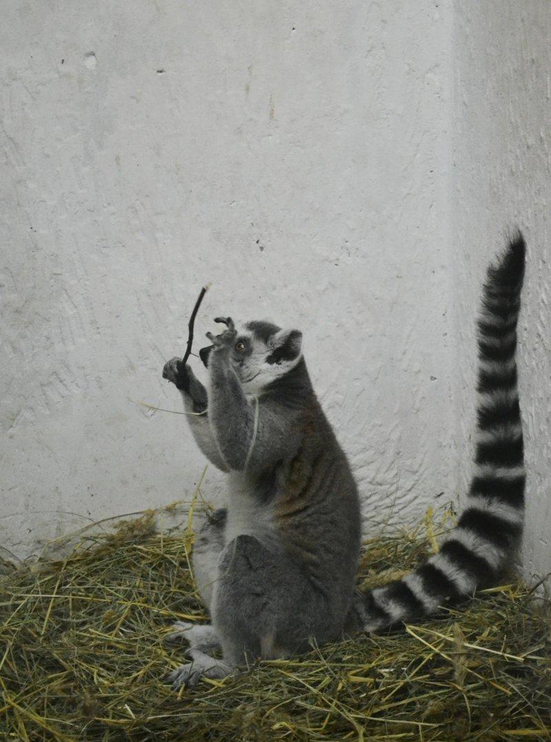 Лемуры на Фишках: приятный сюрприз из Пензенского зоопарка животные, звери, зоопарк, лемуры, новости, пенза, спецпроект, фишки