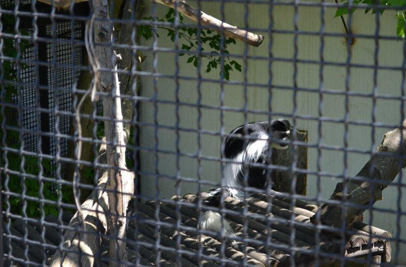 А с другой стороны от Юми и Фанни все лето проведет восточный колобус животные, звери, зоопарк, лемуры, новости, пенза, спецпроект, фишки