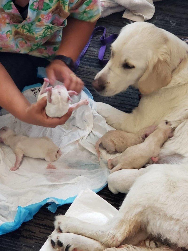 У служебной собаки по кличке Элли начались роды прямо перед посадкой на рейс в Филадельфию tampa, аэропорт, животные, лабрадор, роды, сша, фото, щенок