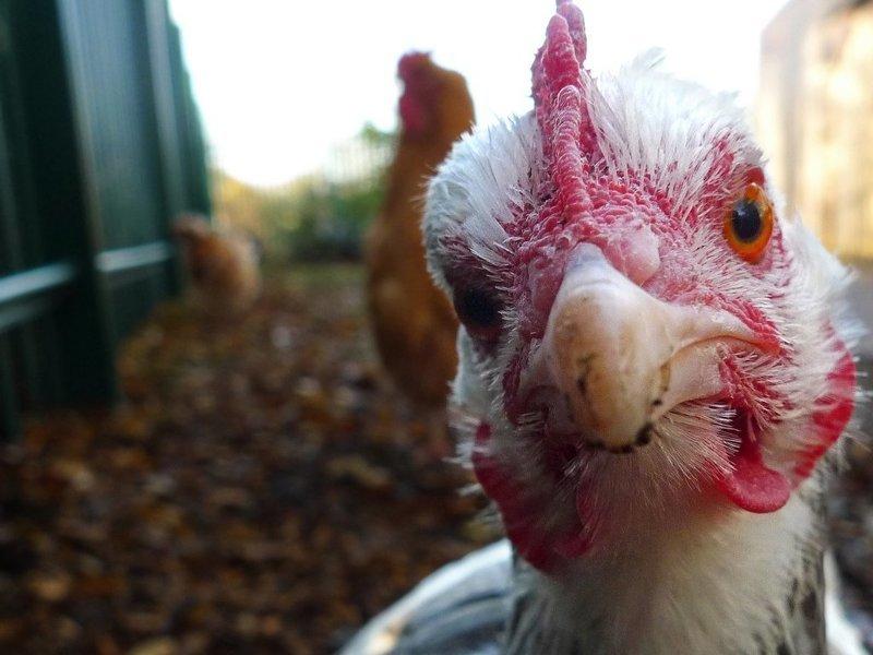 1. Курица может жить без головы — правда интересно, любопытно., факты