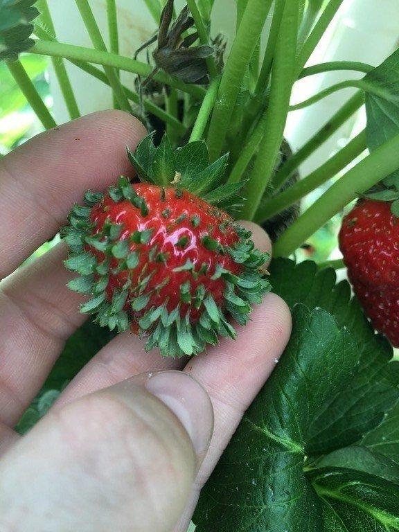 4. Проросшая клубника в мире, еда, овощи, подборка, прикол, фрукты