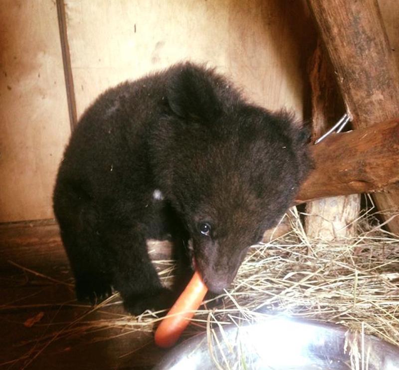 """Жители Приморья """"отвоевали"""" раненого медвежонка-сироту у дачников-живодёров гималайский медвежонок, животные, спасение"""