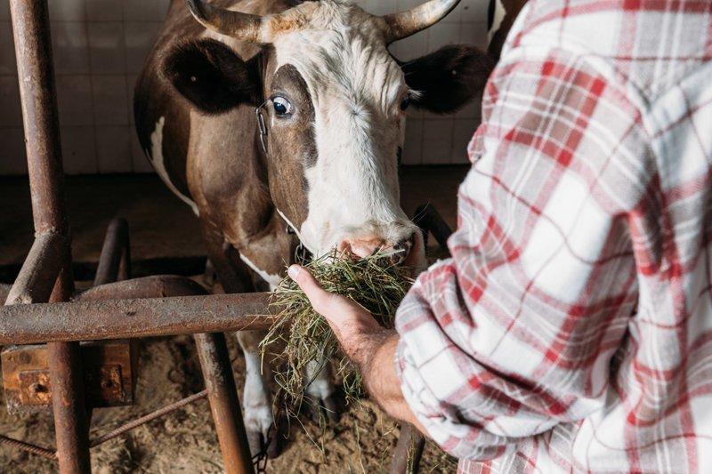 Беременную корову грозятся казнить из-за незаконного пересечения границы ЕС ynews, видео, граница, законы, корова, нелегалы, усыпление животного