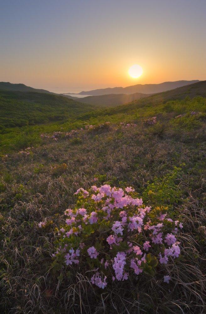 Цветение рододендрона Шлиппенбаха на п-ове Гамова. Майские картинки, природа, фото